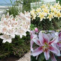 15 Lily Dwarf Oriental Collection