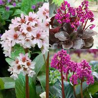 3 Bergenia Collection
