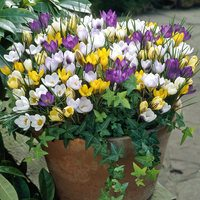 25 Winter Crocus Species Mixed