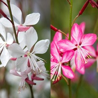 6 Gaura Collection