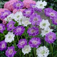 6 Scabiosa caucasica Collection