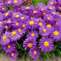 6 Aster Alpinus Blue Wonder