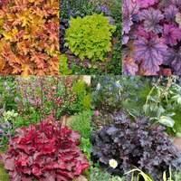 5 Heuchera Luxury Collection