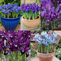 125 Iris Spring Flowering Collection