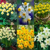 150 Rockery Narcissi Collection