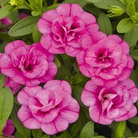 6 Calibrachoa Calita Double Rosy