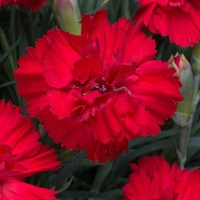 Dianthus Lady in Red