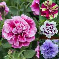 12 Petunia Tumbelina Collection