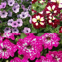 6 Petunia Speckled Collection