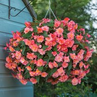 6 Begonia Fragrant Sweet Spice Bounty