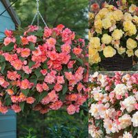6 Begonia Fragrant Sweet Spice Collection