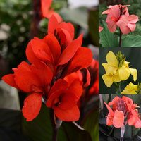 4 Canna Cannova Collection
