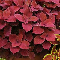 6 Coleus Red Head