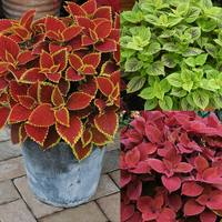 6 Coleus RHS Award Winning Collection