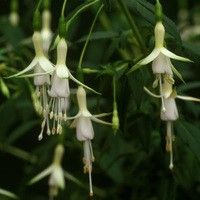 Fuchsia Bride of Thumb (Hardy)