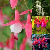 24 Fuchsia Unusual Hardy Collection