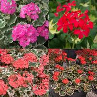 12 Geranium Pelgardini Fanciful Foliage Collection