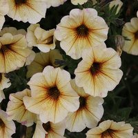 Petunia Beautical French Vanilla