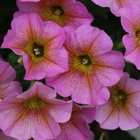 6 Petunia Beautical Sunray Pink