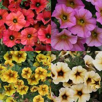 12 Petunia (Petchoa) Beautical Collection
