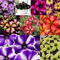 Petunia Crazytunia Mixed