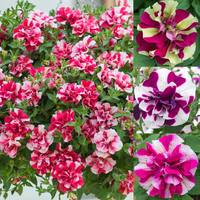 Petunia Tumbelina Bicolour Collection