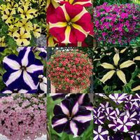 6 Petunia Premium Star Mixed