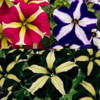 Petunia Royal Flush Collection