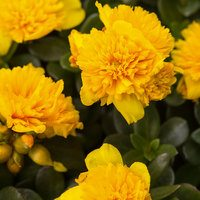 6 Portulaca Colorblast Double Yellow