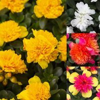 12 Portulaca Colorblast Double Collection