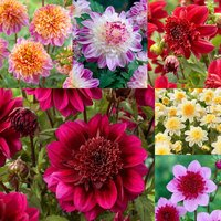 6 Dahlia Anemone Collection