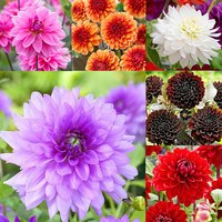 6 Dahlia Decorative Collection
