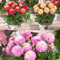 3 Dahlia Princess Collection