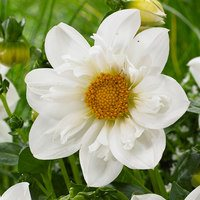Dahlia Collarette Twynings White Chocolate