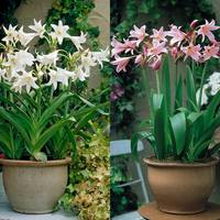 2 Crinum Powelli Collection