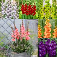 90 Gladioli Dwarf Butterfly Collection