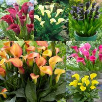 6 Zantedeschia Collection
