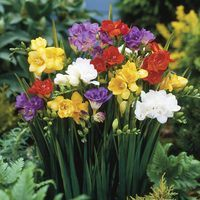 25 Freesia Single/Double Mixed