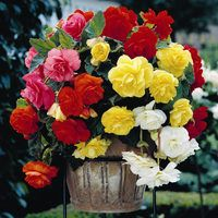 5 Giant Cascading Begonias Mixed