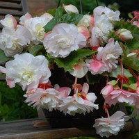 3 Begonia Splendide Ice Maiden