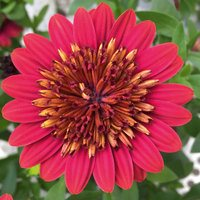 6 Osteospermum Erato Double Red