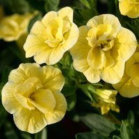 6 Calibrachoa Double Can Can Lemon