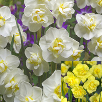 Daffodil Cheerfulness Collection 10/11cm