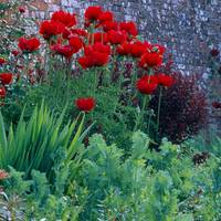 3 Papaver orientale Regal Red