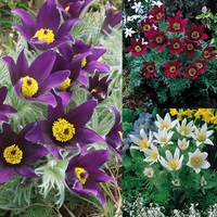 6 Pulsatilla vulgaris Collection
