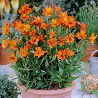 3 Alstroemeria Orange King