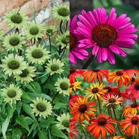 3 Echinacea Collection