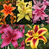 Lily Super Asiatic Hybrids Collection