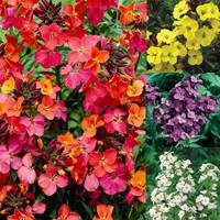 Erysimum Mixed