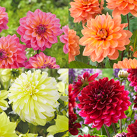 4 Decorative Dahlia Collection